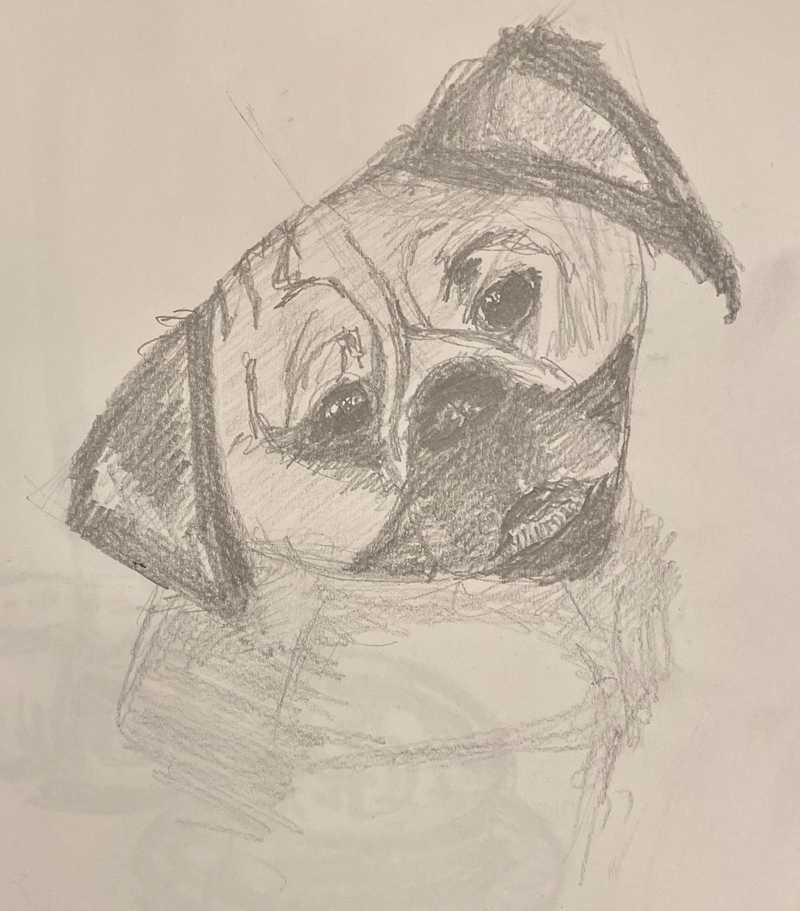 pencil sketch of a pug with head tilted