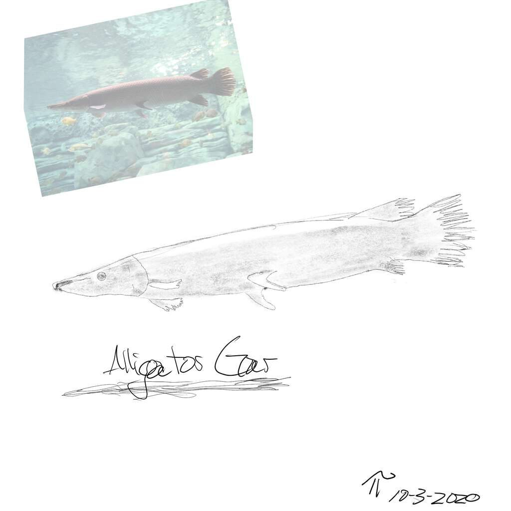 Sketch of Alligator Gar, with reference photo